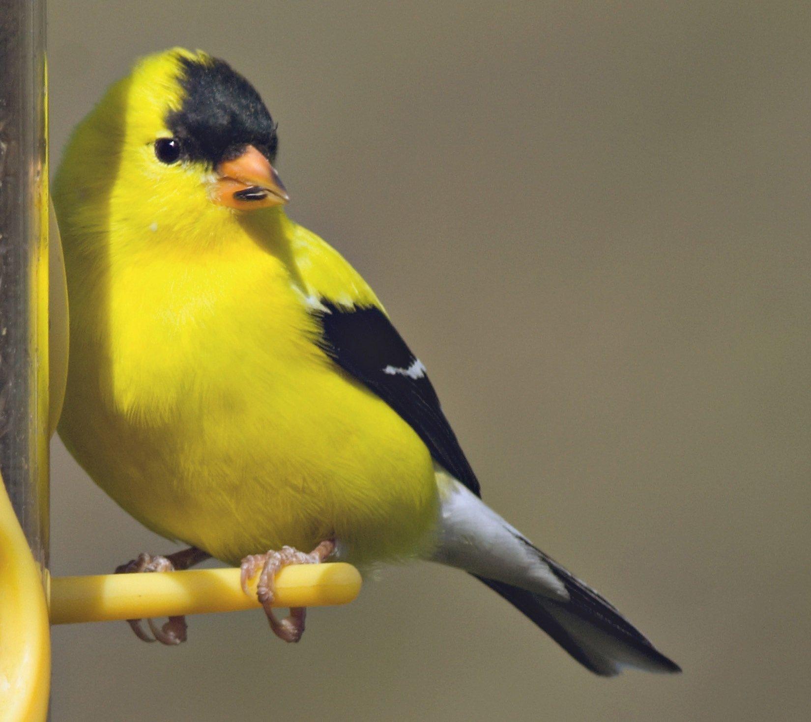 Songbird Selections 11972 Colorful Bird Blend Wild Bird Food, 4-Pound