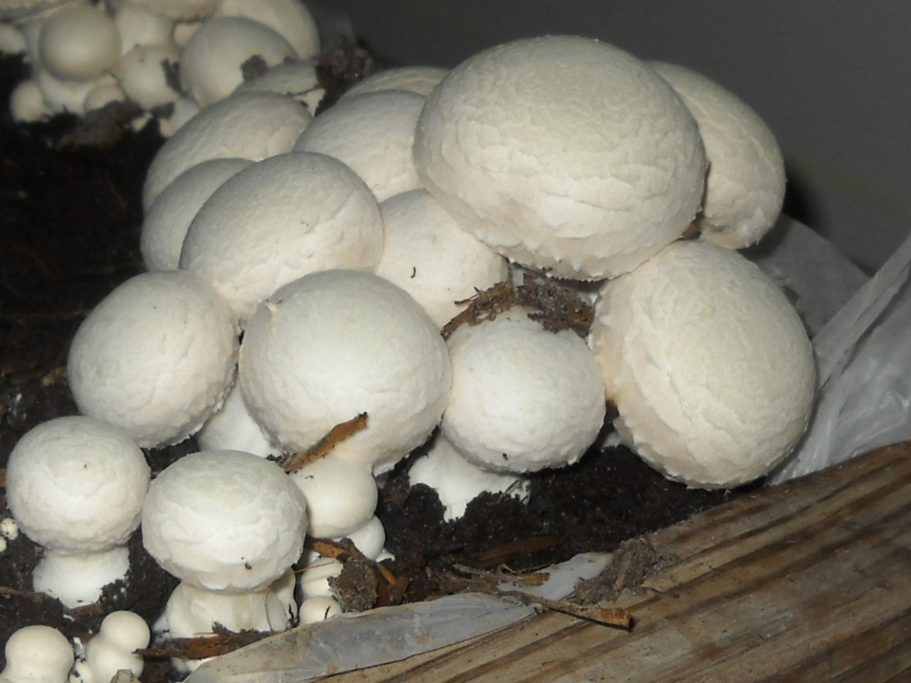 White Button Mushroom Growing Kit ~ makes it EASY to grow Your FRESH Shrooms!