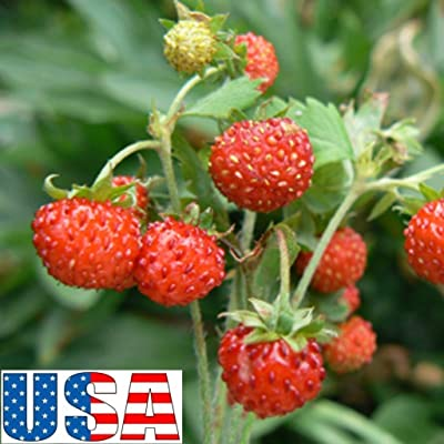 100 Seeds USA Seller Red Wonder Wild Strawberry Heirloom Non-GMO : Garden & Outdoor
