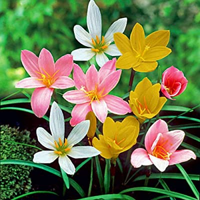 Fairy Rain Lily (Zephyranthes Mix) - 10 Bulbs : Grocery & Gourmet Food