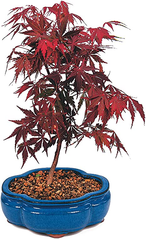 Amazon Com Brussel S Japanese Red Maple Bonsai Medium Outdoor Garden Outdoor