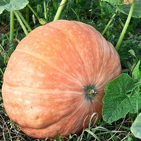 Grow Your Own Giant Atlantic Pumpkin Plant Kit