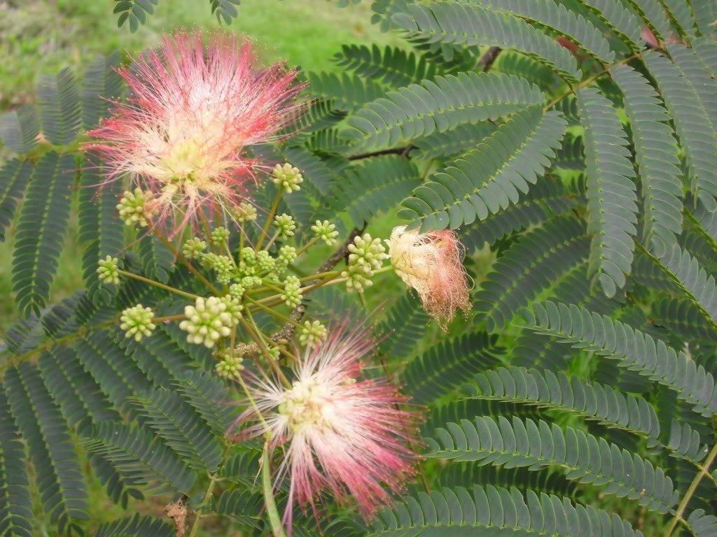 Amazon 25 Mimosa Persian Silk Tree Albizia Julibrissin Seeds