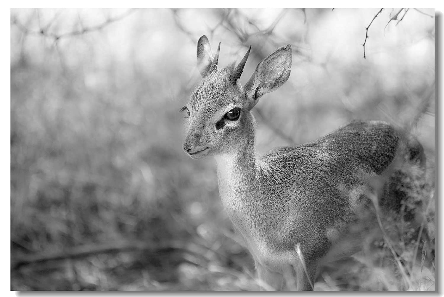 Poster damara dik dik deer in park black and white animal photo fabric prints for room wall 35 5x23 5inch 90x60cm 019