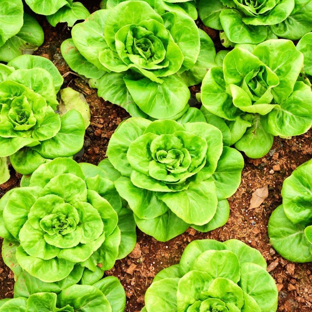 950 semillas Semillas De Lechuga De Mantequilla De Lechuga Justyna Lactuca sativa