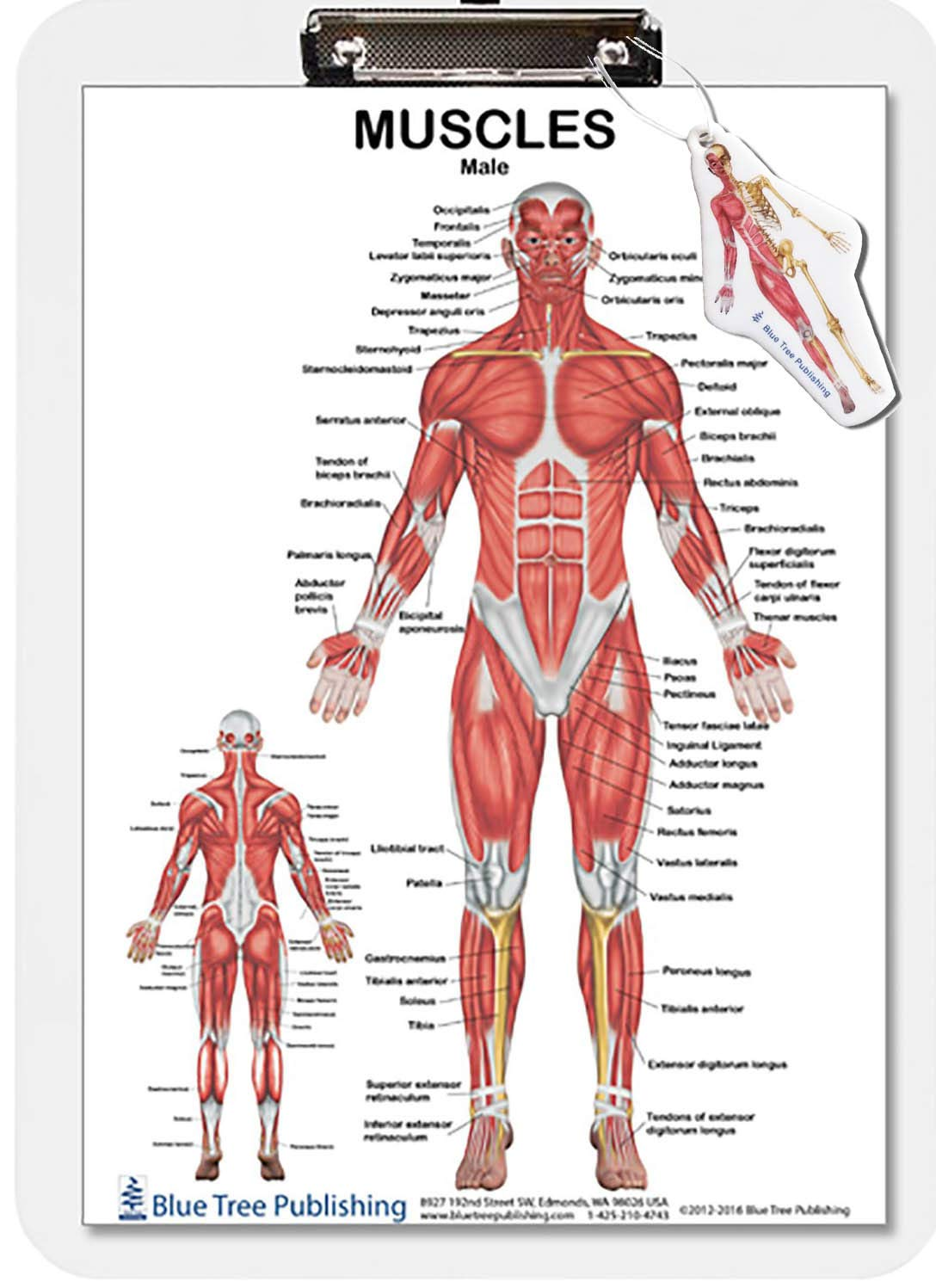Muscle Anatomy Female and Male Dry Erase Clipboard Two Sided (Skeletal):  Amazon.com: Industrial & ScientificAmazon.com