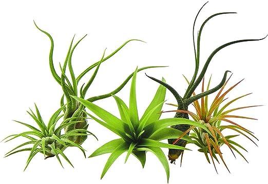 GEOPONICS Paquete de 5 plantas raras Tillandsias planta de aire por parte de US Jardines vivo Planta de la casa con nosotros Flant: Amazon.es: Jardín