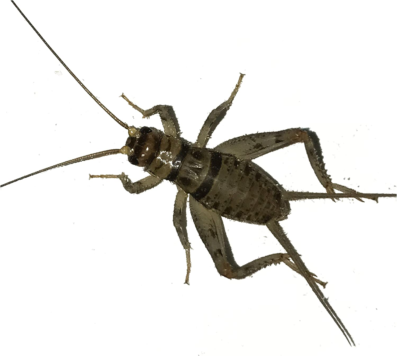 11212 Live Banded Crickets Medium 112/12