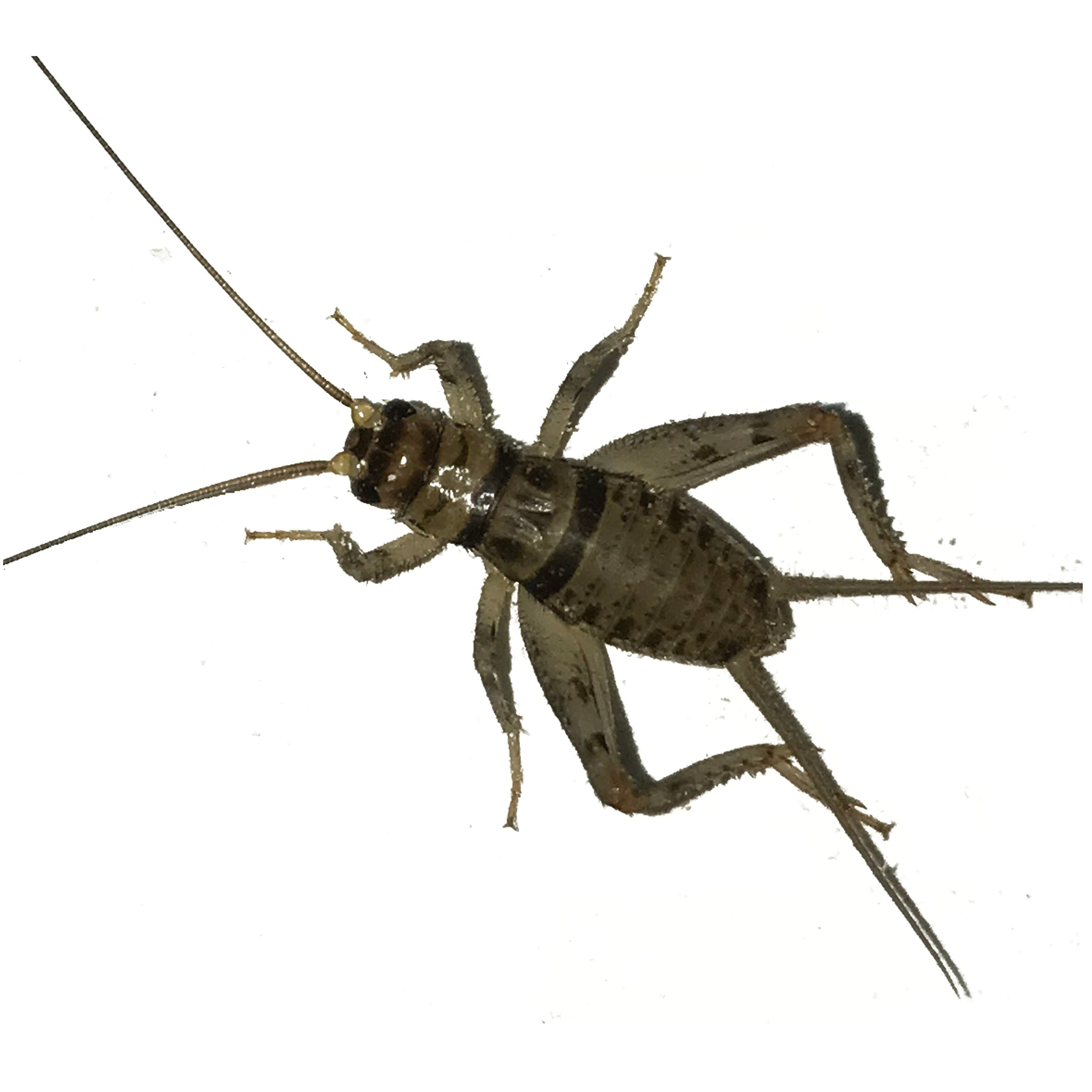 "100 Live Banded Crickets (Medium (1/2"")) by BuyFeederCrickets"