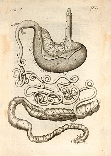 Vintage Anatomy Horse Belly Gullet And Stomach England C1683 By