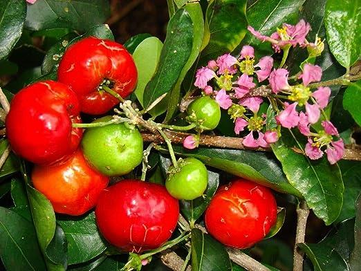 Barbados Kirsche Malpighia emarginata S/ü/ße exotischen tropischen Fruchtsamen 15 Samen