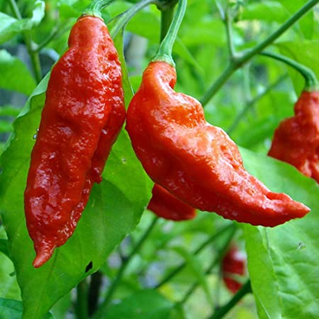CAROLINA REAPER WORLD/'S HOTTEST CHILI PEPPER 10 SEEDS ISOLATED PLANTS