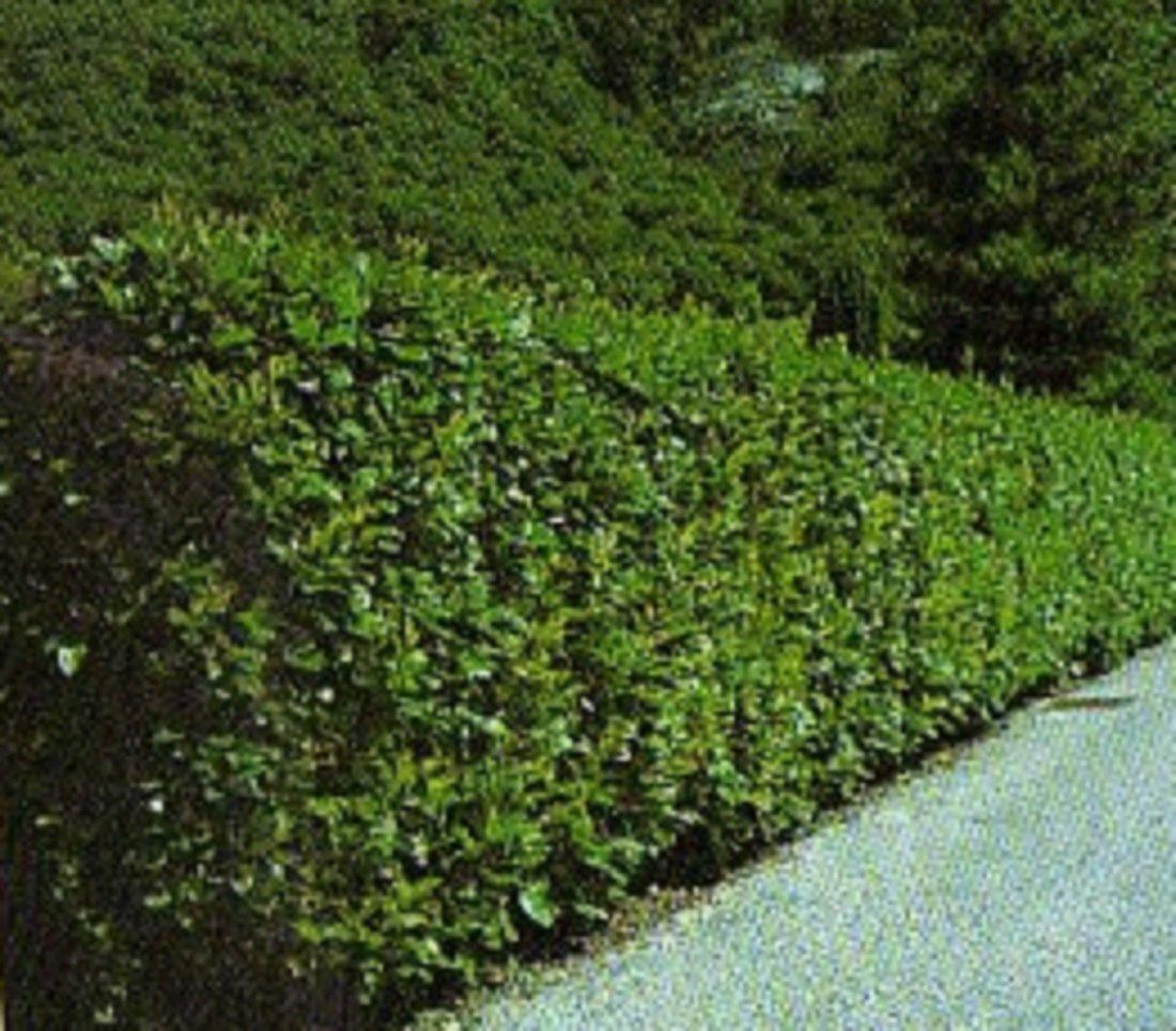 immergr ne frostharte kirschlorbeer prunus laurocerasus herbergii 80 cm 1 3 5 10 oder 20. Black Bedroom Furniture Sets. Home Design Ideas