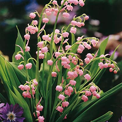 10 Plants- Pink Lily of the Valley, Convallaria Majalis Var. Rosea: Toys & Games