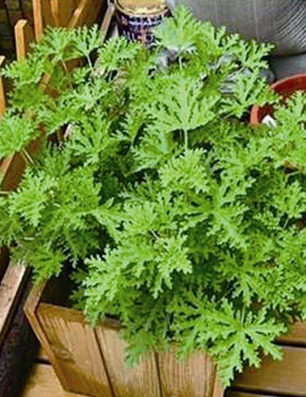 50pcs Citronella Plant Seeds Perennial Grass Mosquito Repellent Geranium Plant Mosquito Lemon Geranium Seeds KOUYE GardenSeeds