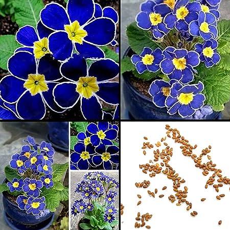 100pcs Rare Blue Evening Primrose Seeds Easy to Plant Garden Decor Flower Seed