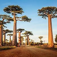 WuWxiuzhzhuo 10 Semillas de árbol de Baobab Adansonia