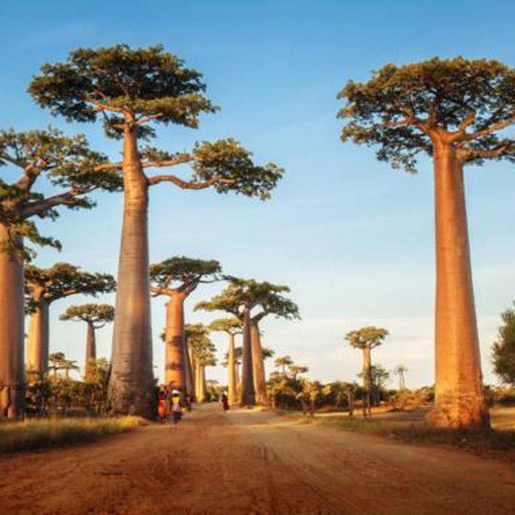 WuWxiuzhzhuo 10PCS Adansonia Digitata Baobab Tree semi, esotico Outdoor pianta alta germinazione 1
