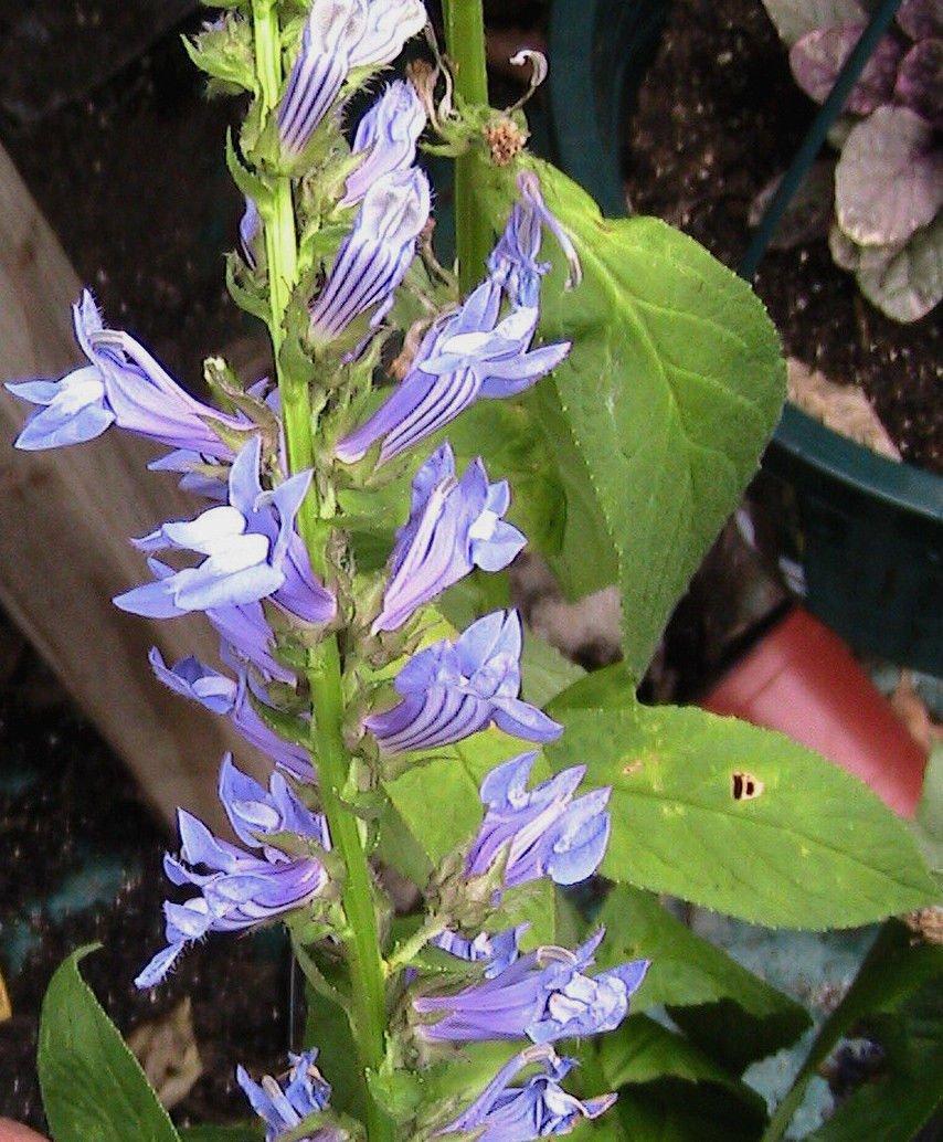 Amazon 20 Great Blue Lobelia Flower Seeds Garden Outdoor