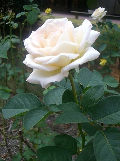 Nelesa Gardening Live Grafted White Rose Plant White Rose Flower