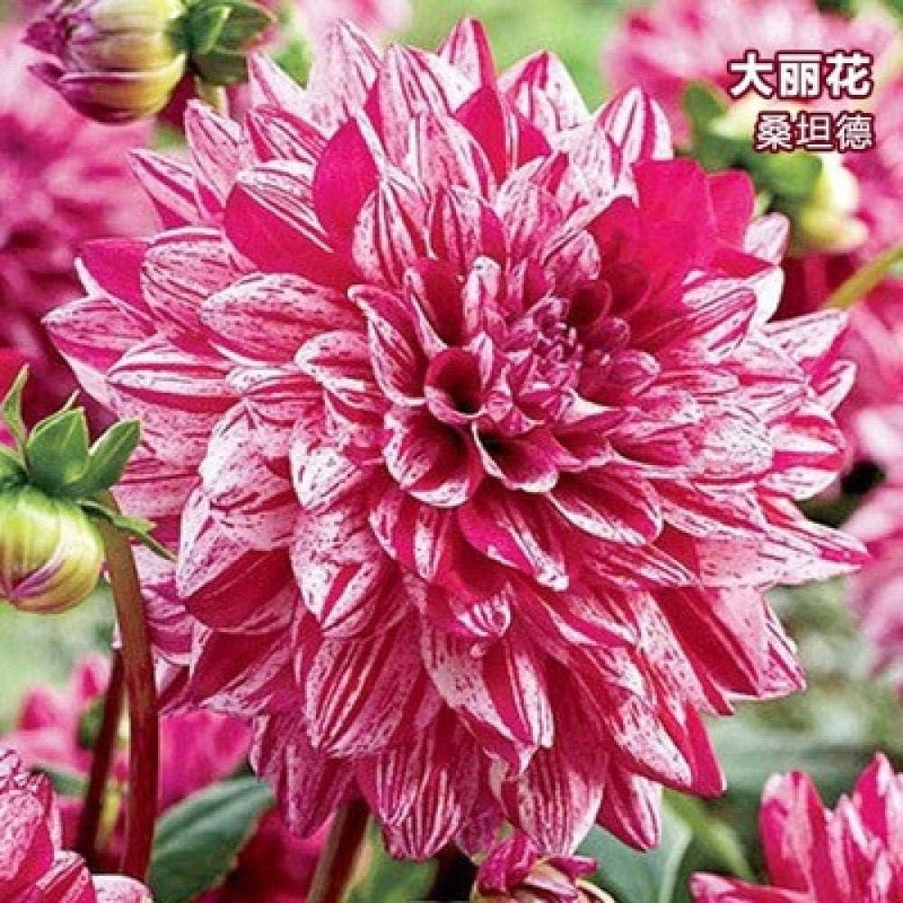 Semillas de Flores Balcones,Bulbos de Flores de Dalia en el jardín Maceta-U_20 cápsulas,Semillas de Flores Multicolores