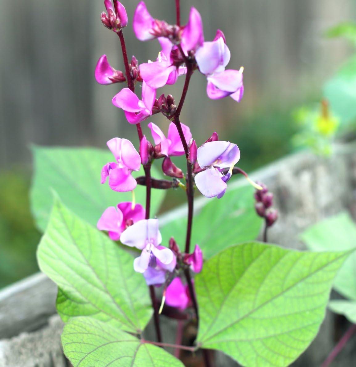 Hyacinth Dolichos Lablab Hyacintovie Beans fragant Seeds Flowers from Ukraine 1 Gram