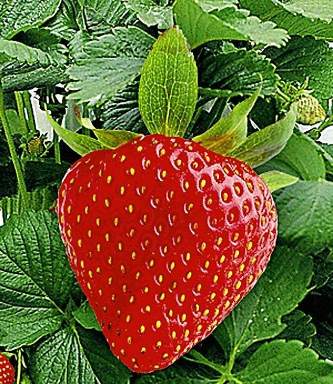 BALDUR-Garten Hummi - Set de fresas para escalada y decoración ...