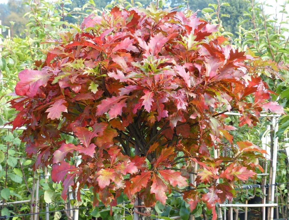 Kugel-Sumpf-Eiche `Green Dwarf´ (Quercus palustris) Größe 150-er Stamm, 15-L-Topf