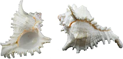 US Shell 3 Piece Black Murex Sea Shells