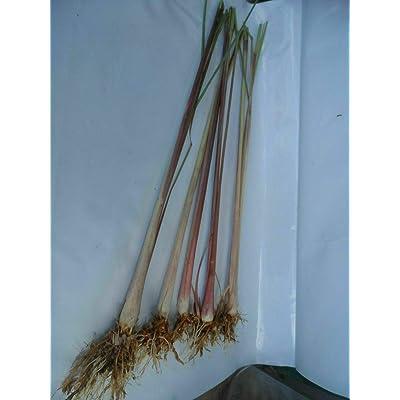 15 Roots Lemongrass Stalks Cymbopogon Sereh Outdoor Gardening tkpop : Garden & Outdoor