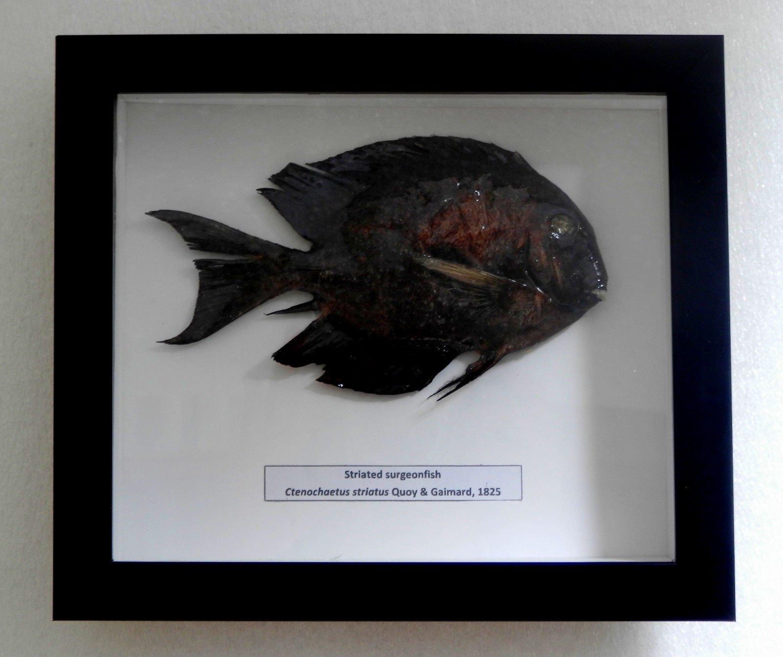 05113 Real Frame Fish Taxidermy Striated Surgeonfish - Ctenochaetus striatus