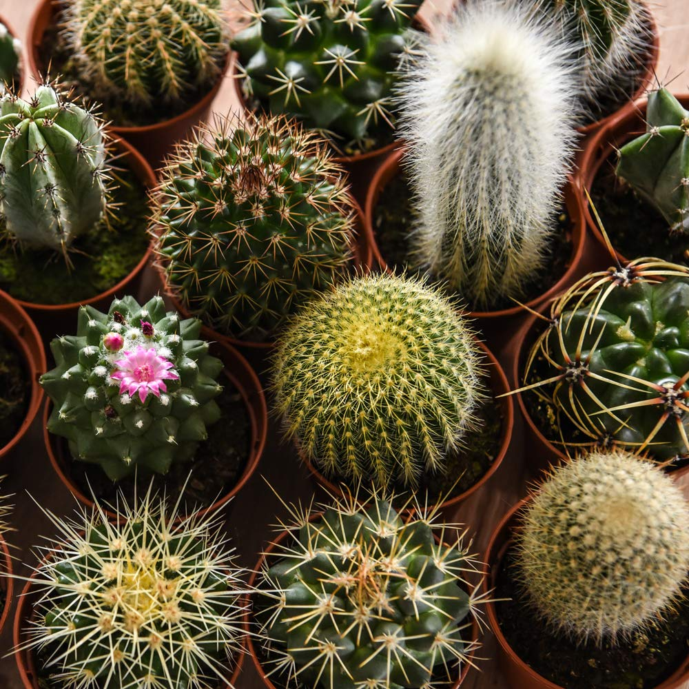 Small Cactus Plants Indoor Succulent Gift Idea House Plant Easy to ...