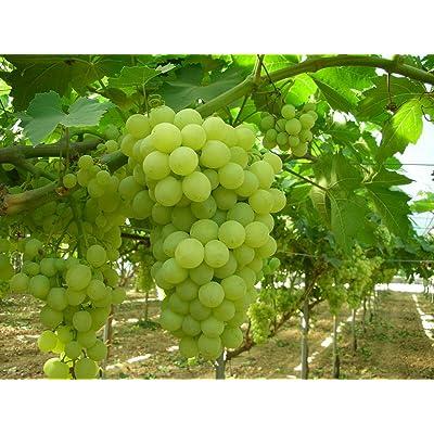Thompson Seedless Grape Vine MG009 : Garden & Outdoor