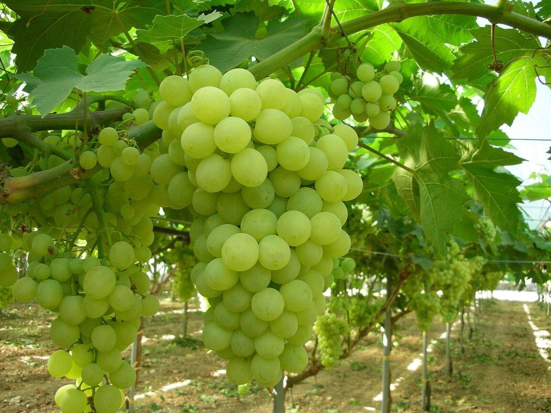 Amazon Com Thompson Seedless Grape Vine Live Plant Bgar168