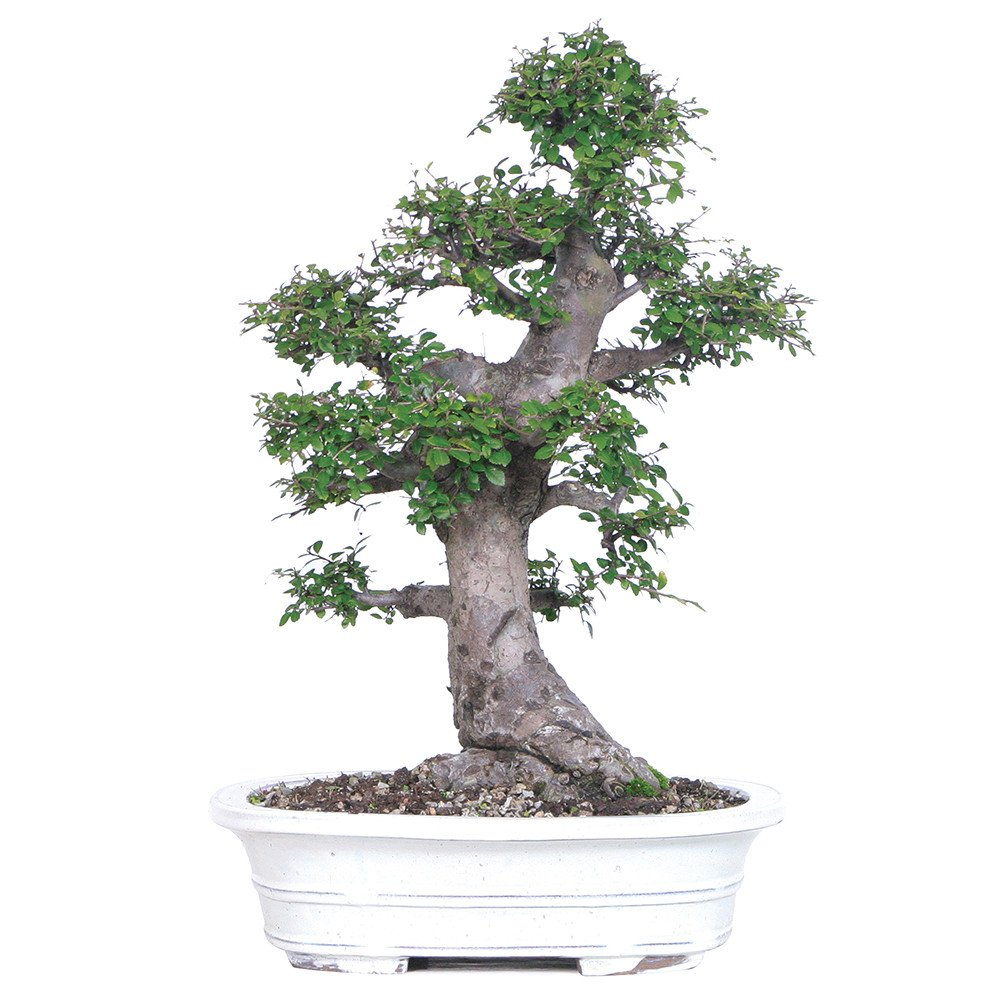 Brussel's Bonsai ST0714CE-R Chinese Elm Specimen Bonsai