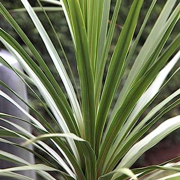 9cm Pot 3 X Cordyline Australis Atlantic Green Herbaceous Cabbage Palm
