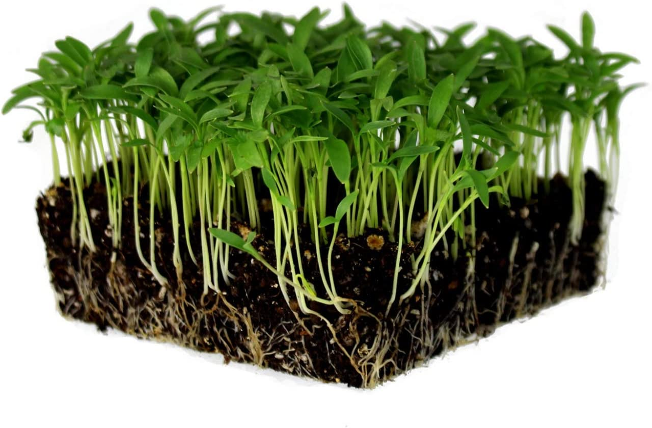 Slow Bolt Cilantro Herb Garden Seeds - 1 Oz - Non-GMO, Heirloom, Organic - Herbal Gardening & Microgreens Seeds (Coriander)