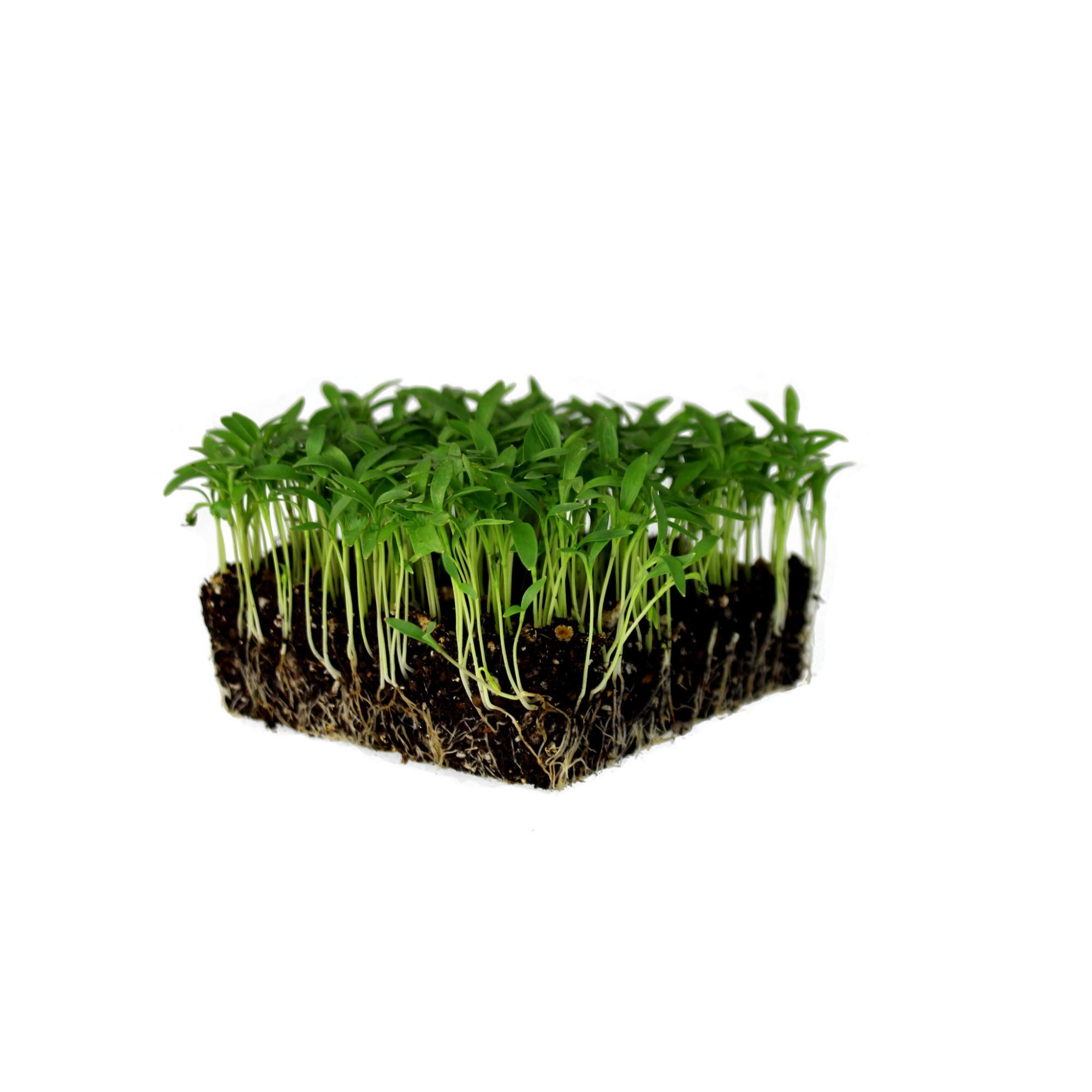 Slow Bolt Cilantro Herb Seeds: 5 Lb - Bulk, Non-GMO Microgreens & Herbal Gardening Seeds by Mountain Valley Seed Company