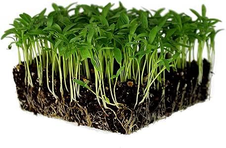 Slow Bolt Cilantro Herb Garden Seeds - 1 Oz ~2,500 seeds - Non-GMO Heirloom Slow Bolt Cilantro Herb Seeds (Coriander) - Outdoor Garden, Indoor Gardens, Countertop Microgreens, Organic Micro Greens Kit