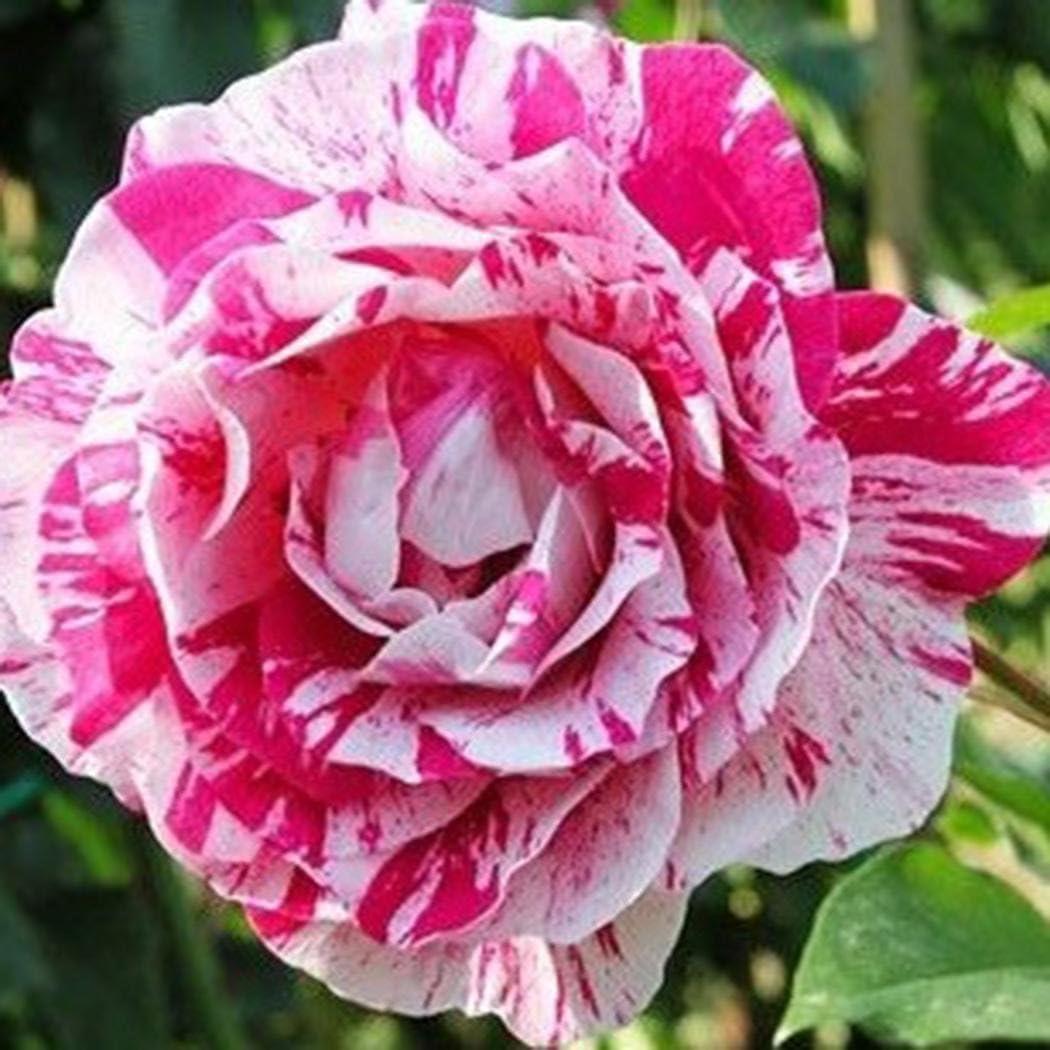 Perennial Plant Flower Seeds Rare Sundry Rose Petals for Home Garden Flowers Feriay Seeds-100 Pcs 17 Color Rose Seeds