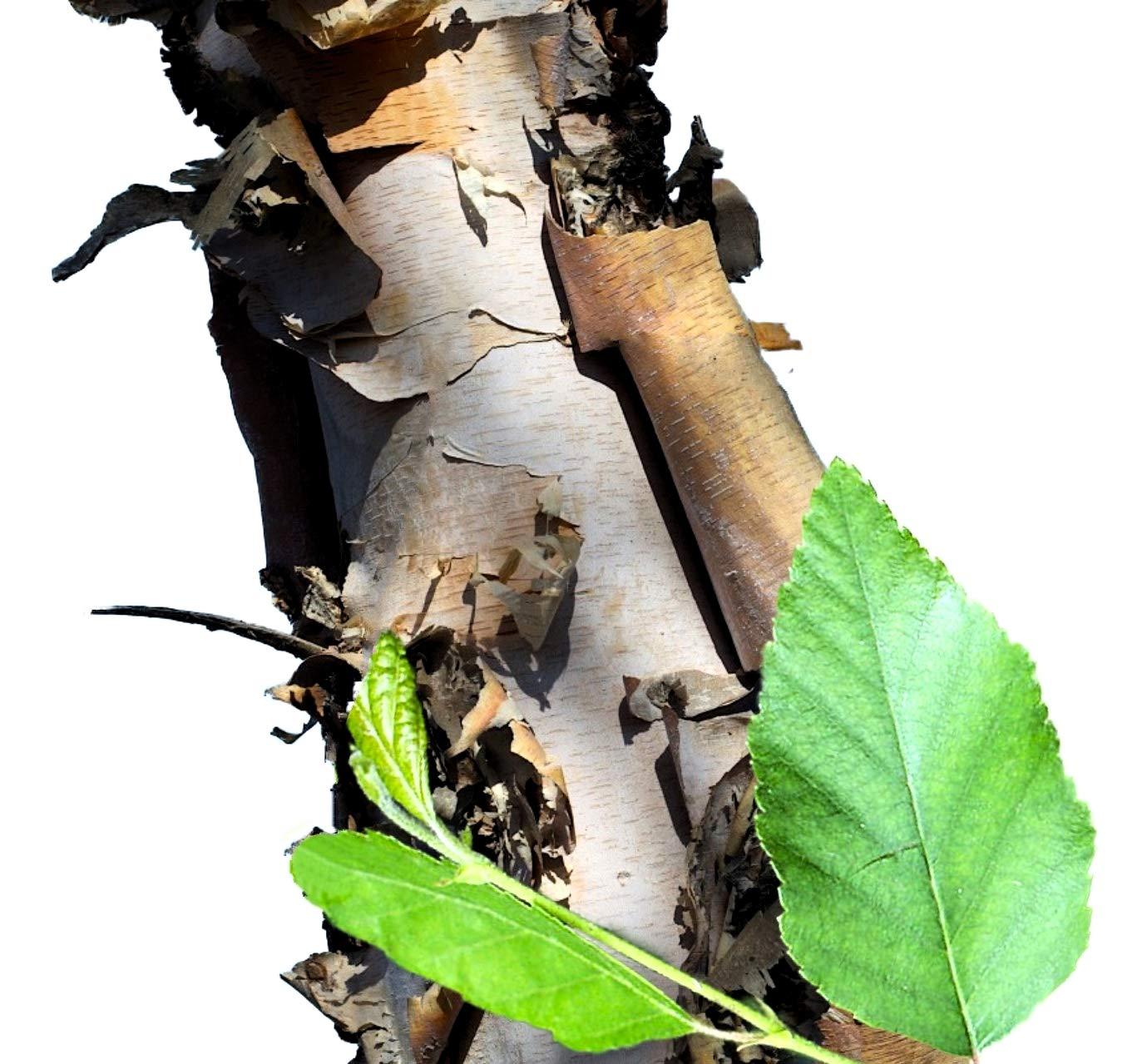 River Birch Tree - Live Plant Shipped 2 to 3 Feet Tall by DAS Farms (No California)