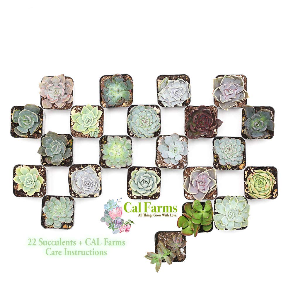 CAL Farms 2'' Beautiful Assorted Variety Succulents for Weddings or Party Favors or Succulent Gardens (Pack of 22) No Two Alike by CAL Farms
