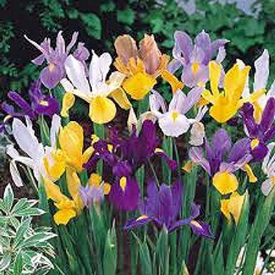 Iris, Bulb (10 Pack) Dutch Mix, Perennial Iris Bulbs, Flowers : Garden & Outdoor