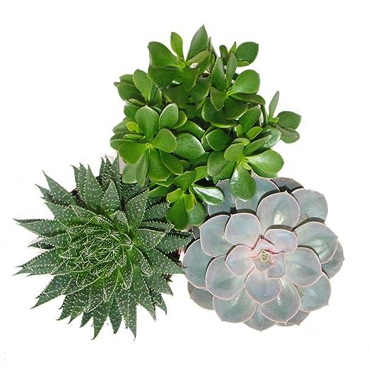 Zimmerpflanzen Sonnenfenster exotenherz 3er set sukkulenten 3 verschiedene pflanzen im 12 cm