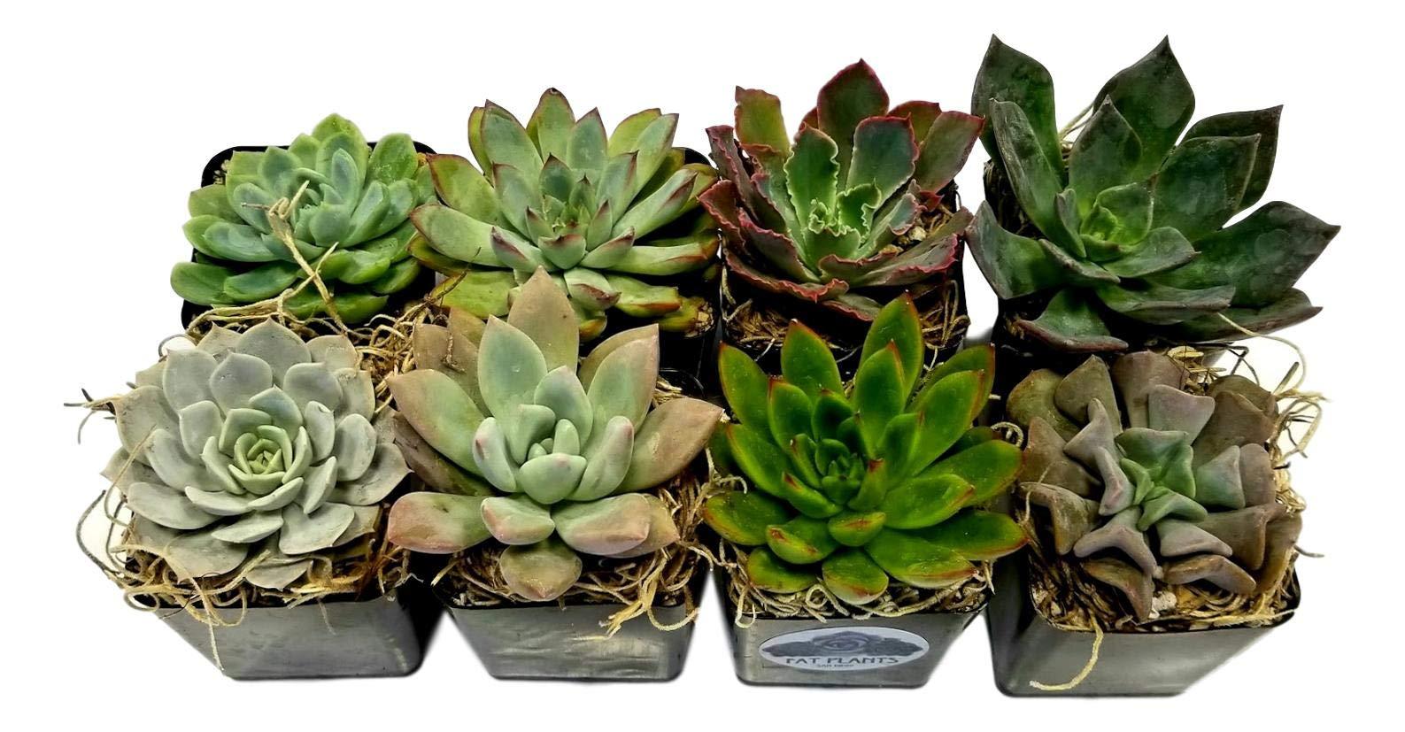 Fat Plants San Diego 2.5 Inch Wedding Rosette Succulent Plants (8) by Fat Plants San Diego