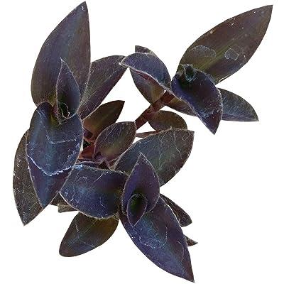 Purple Heart Tradescantia Pallida Purple Queen Wandering Jew (4 inch Pot) : Garden & Outdoor