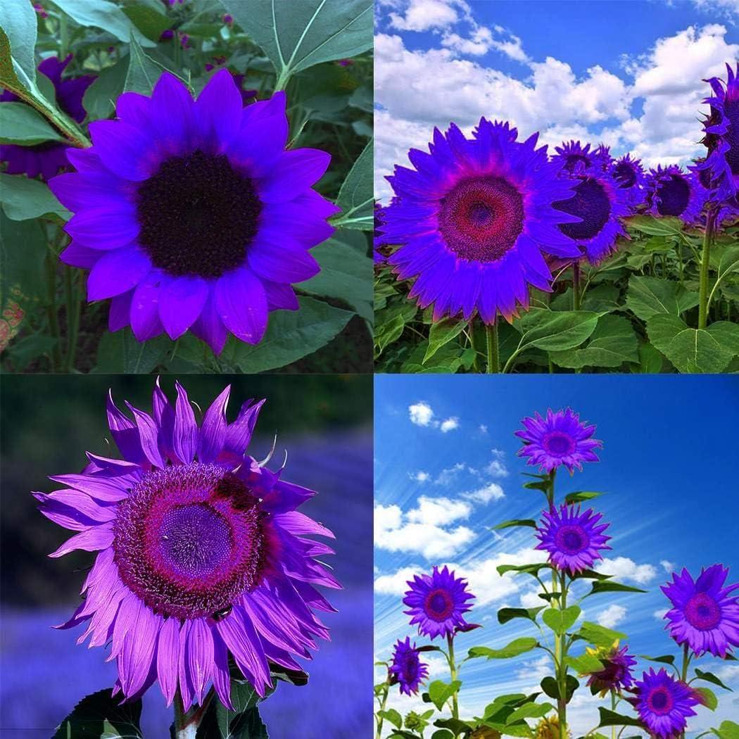 TOMASASeedhouse- 10 piezas de semillas de girasol, raras flores ornamentales de semillas de girasol para jardines, cercas, granjas