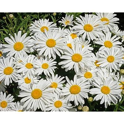 Shasta Daisy Seeds, Perennial Flower, 5000 Seeds by Seeds2Go : Garden & Outdoor
