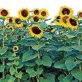 Burpee Sunforest Mix Sunflower Seeds 100 seeds