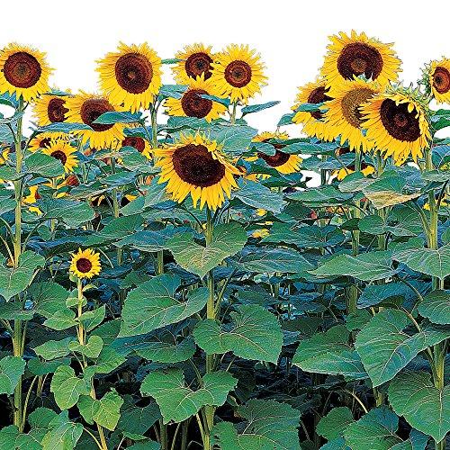 (Burpee Sunforest Mix Sunflower Seeds 100 seeds )